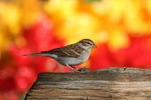 Chipping Sparrow (Spizella passerina) on a stump in fall with autumn colors poster