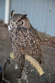 Sleeping Great Horned Owl (Bubo virginianus), also known as the tiger owl is a large owl native to the Americas. poster