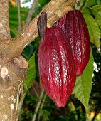 Cacao Pod. Criollo (meaning 'of the new world') is the original cacao consumed by the Maya and is prized today as by far the best tasting cacao variety. Maya lords grew criollo cacao trees in gardens and small plantations all over Central Americ poster