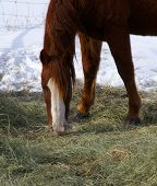 Single brown horse grazing in winter pasture near Baggs Wyoming Rocky Mountain west poster