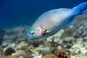 Tropical fish Parrotfish underwater in coral garden. Maldives. Indian ocean. Addu atoll. poster