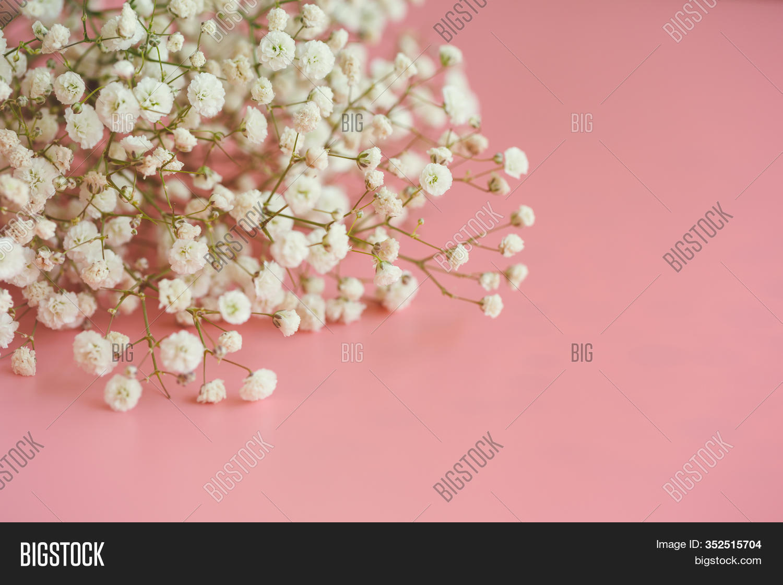 Gypsophila White Baby Image Photo Free Trial Bigstock