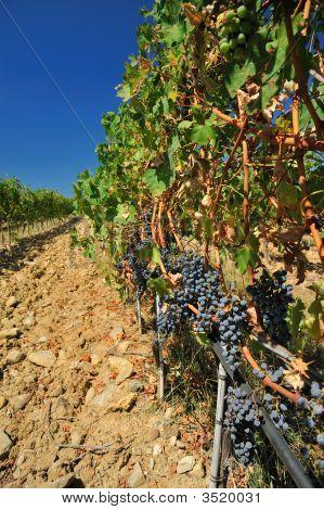 Vineyard 001