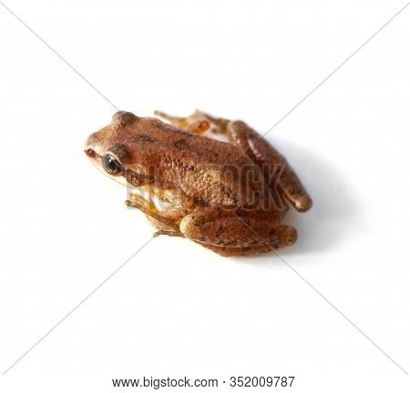 An Upland Chorus Frog Sits Isolated On A White Background