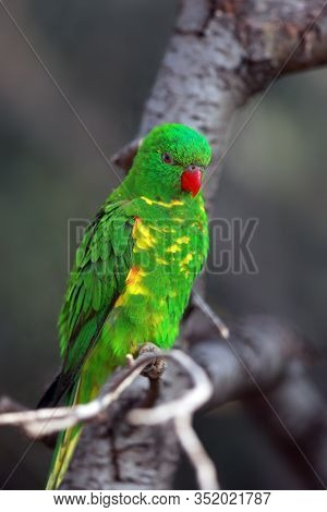The Scaly-breasted Lorikeet (trichoglossus Chlorolepidotus) Sitting On The Branch In The Forest. Gre