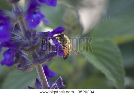 Bee Extracting Pollen From Lupin