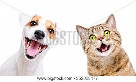 Portrait Of  Funny Dog Jack Russell Terrier And Cheerful Cat Scottish Straight Isolated On White Bac