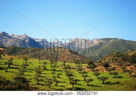 Goats Grazing In An Olive Grove In The Andalucian Countryside, Near Tolox, Malaga Province, Andaluci