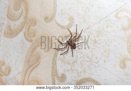A Spider In The House Crawls On The Wall. Arthropod Spider. Domestic Insects.