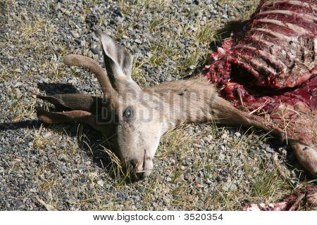 Dead deer that has been partially eaten poster