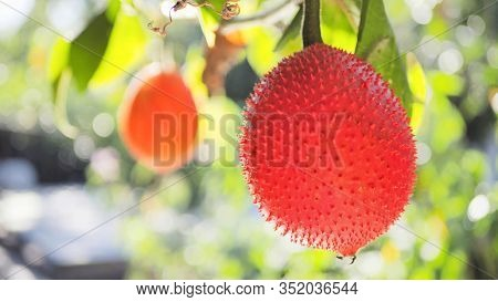 Gac Fruit Red Color Is Ripe And Yellow Is Young On The Tree. Gac Is High In Anti-oxidants. Enhance T
