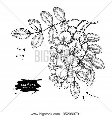 Sophora Japonica Vector Drawing. Hand Drawn Botanical Branch With Flowers And Leaves.