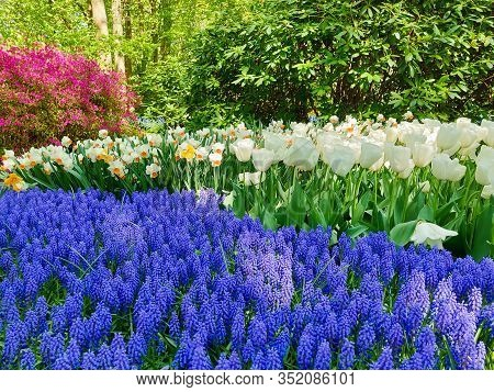 Tulips, Daffodils And  Blue Grape Hyacinth Flowers In Spring Garden.