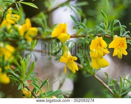 Yellow Flowers Of Cytisus (chamaecytisus) Plant Growing In Garden