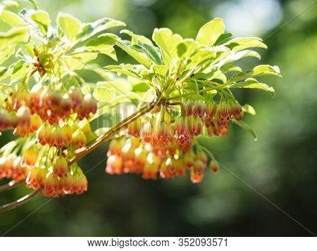 Detail Of Colorful Flowers Of Enkianthus Campanulatus (furin-tsutsuji, Redvein Enkianthus) Shrub Blo