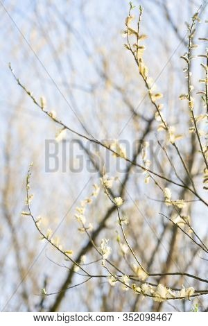 Pussy Willow Flower On Tree With  Light Sky. Easter; Background; Beautiful; Pollen; Stem; Sallow; Pu