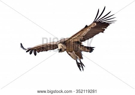 Griffon Vulture (gyps Fulvus) Flying Isloated On White Background In Spanish Pyrenees, Catalonia, Sp