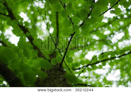 Katsura Tree Trunk And Leaves