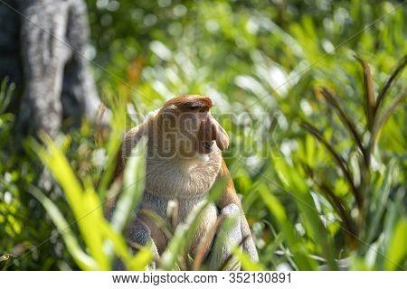 Wild Proboscis Monkey Or Nasalis Larvatus, In Rainforest Of Borneo, Malaysia