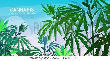 Hemp Industrial Plantation Medical Cannabis Or Marijuana Leaves Background Drug Consumption Concept