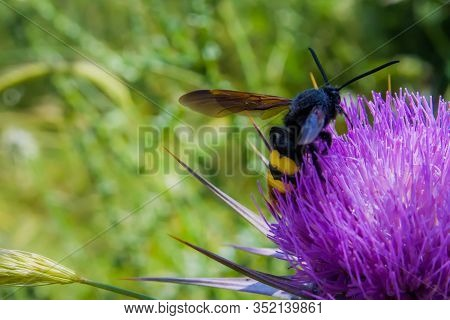 Large Hornet Pollinates The Thistle Flower Over A Background Of Green Herbs And Grass. Biotic Pollin