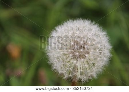 Faded Dandelion With White Seeds Waiting For The Wind To Blow Out The Seed