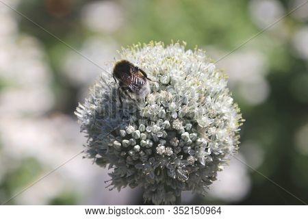 Milkweed Plant With Bee In The Public Park Hitland In Nieuwerkerk Aan Den Ijssel In The Netherlands.