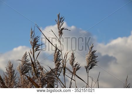 Reed Leaves Colored By Sun Light With Blue Sky And White Clouds In Moordrecht The Netherlands