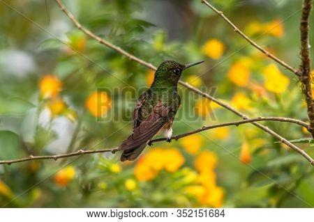 Green And Blue Hummingbird Sparkling Violetear Flying Next To Beautiful Yelow Flower. Bird From Ecua