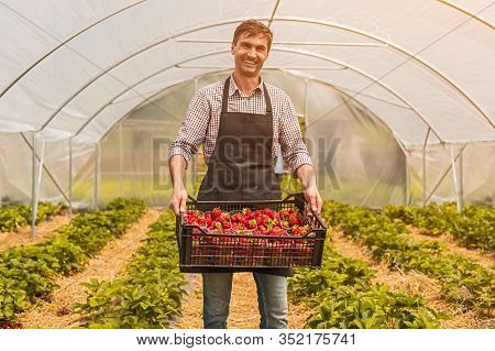 Pleased Adult Man With Box Of Ripe Strawberries Smiling And Looking At Camera While Standing In Gree