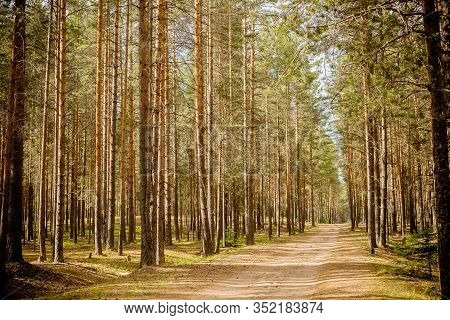 Road At A Pine Tree Forest.forest Path Sunlight Scene. Deep Forest Trail View. Forest Trail Landscap