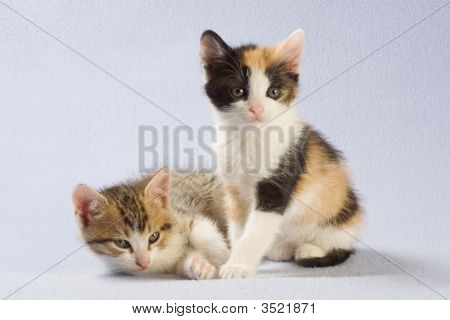 Two Kittens Isolated On A Blue