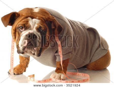 English Bulldog Working Out