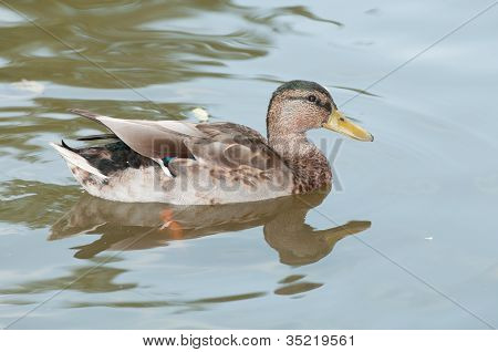 Female Duck Swimming In The Pond.