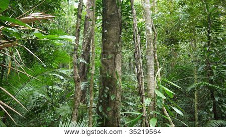 View into the tropical Daintree rainforest in Queensland, Australia. poster