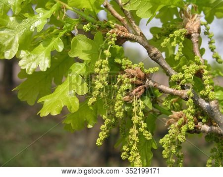 Flowers And Inflorescences Quercus Pubescens, Downy Oak Or Pubescent Oak Leaves Leathery. Leaves Gro