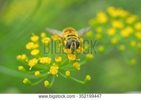 Bee-mimicking Hoverfly Sits On An Umbellifer In The Sunlight. Hoverfly Sit On Dill Inflorescences.cl