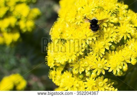 Beautiful Bumblebee On Bright Yellow Summer Flowers. The Concept Of Spring, Environmental Protection