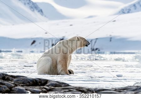 Adult male polar bear sits at the edge of the ice in Svalbard, a Norwegian archipelago between mainland Norway and the North Pole. Side view with snow and mountain background.