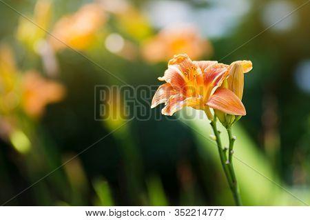 Gardening Concept. Flowers Of Hemerocallis Fulva In The Garden, Over A Green Blurred Background. Pos