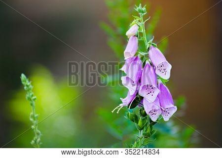 Gardening Concept. Group Of Purple Foxglove Flowers Digitalis Purpurea L. In The Garden Over A Blurr