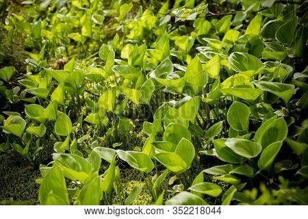 Leaves Of Calla , Bog Arum, Marsh Calla. Beautiful Group Of Marsh Calla Growing In Swamp. Light Shin