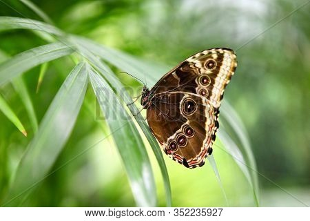 Tropical Butterfly Caligo Atreus Eating Perched On Orange Slice. Feeding Incects. Wild Nature