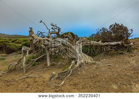 Gnarled Giant Juniper Trees Twisted By Strong Winds. Trunks Creep On The Ground. El Sabinar, Island