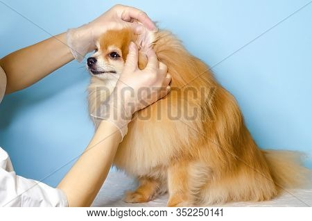 Examination Of Dog By Veterinarian. The Doctor Looks At The Ears Of A Pomeranian Spitz. Ear Tick, Fl