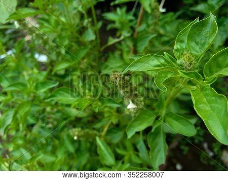 Fresh Lemon Basil (kemangi, Ocimum Basilicum, Ocimum Americanum, O. Basilicum Var. Anisatum Benth, O