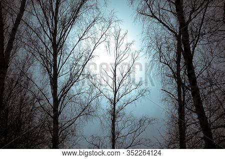 Silhouette Of High Bare Trees On The Sky Backgorund Against The Hazy Sunshine. Mood Concept.