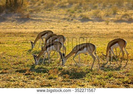 Springbok antelopes (Antidorcas marsupialis) grazing early morning, Kalahari desert, South Africa