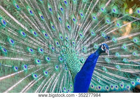 Peacock with open feather - macro shot