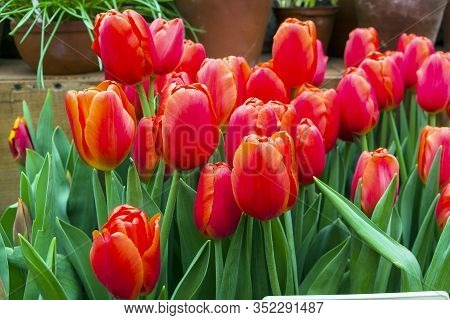 Tulipa Of The Orange Juice  Species In A Greenhouse.